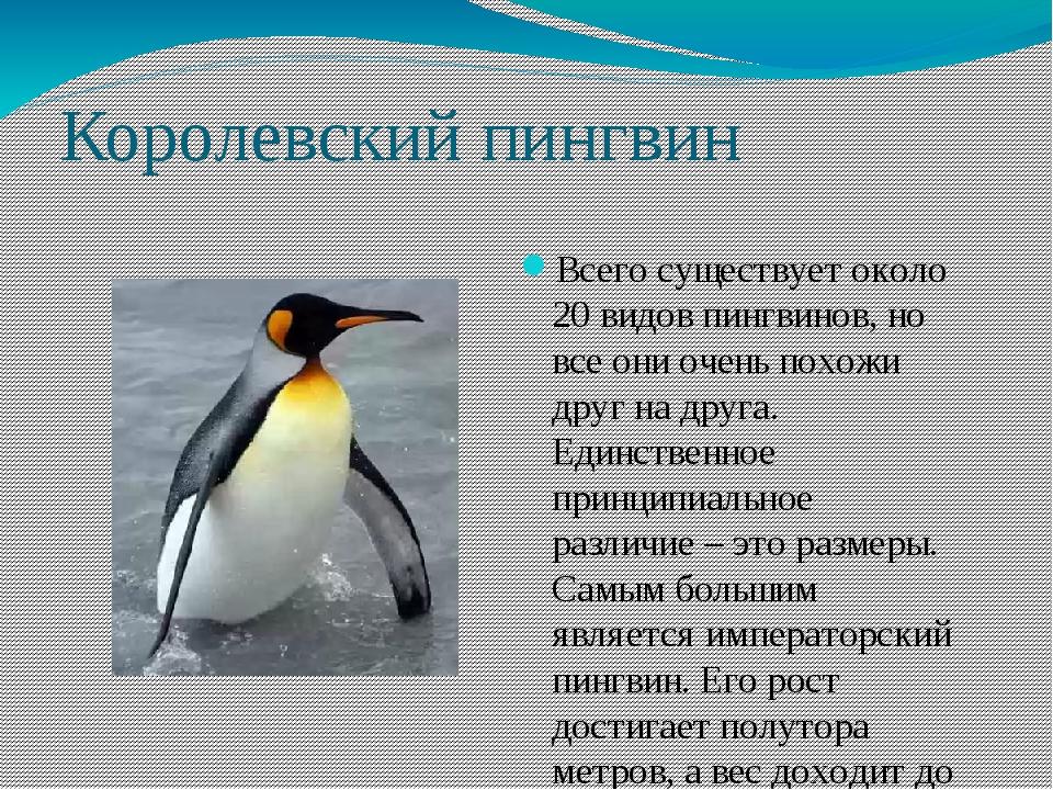 Королевский пингвин Всего существует около 20 видов пингвинов, но все они оче...