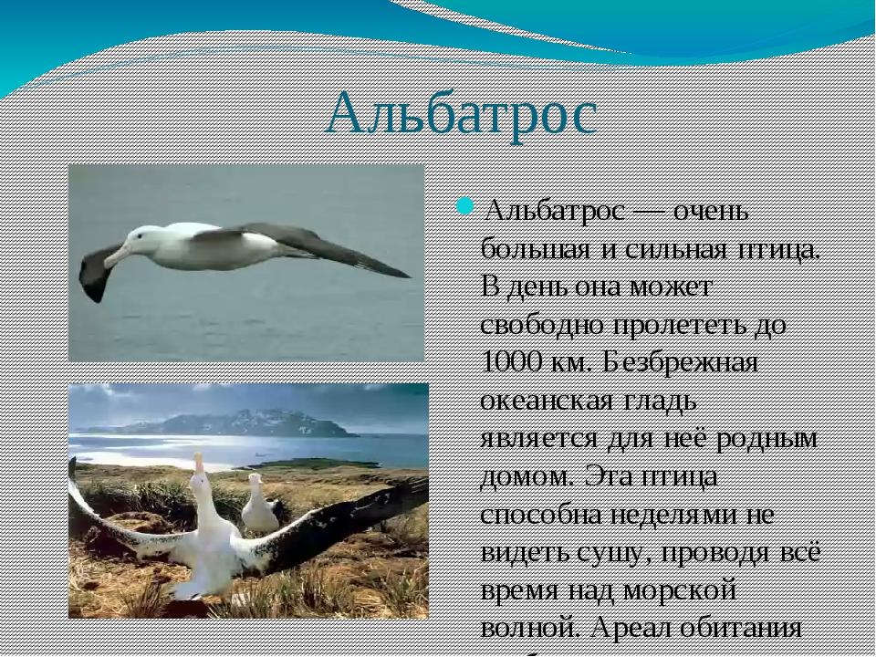 Альбатрос Альбатрос — очень большая и сильная птица. В день она может свобод...