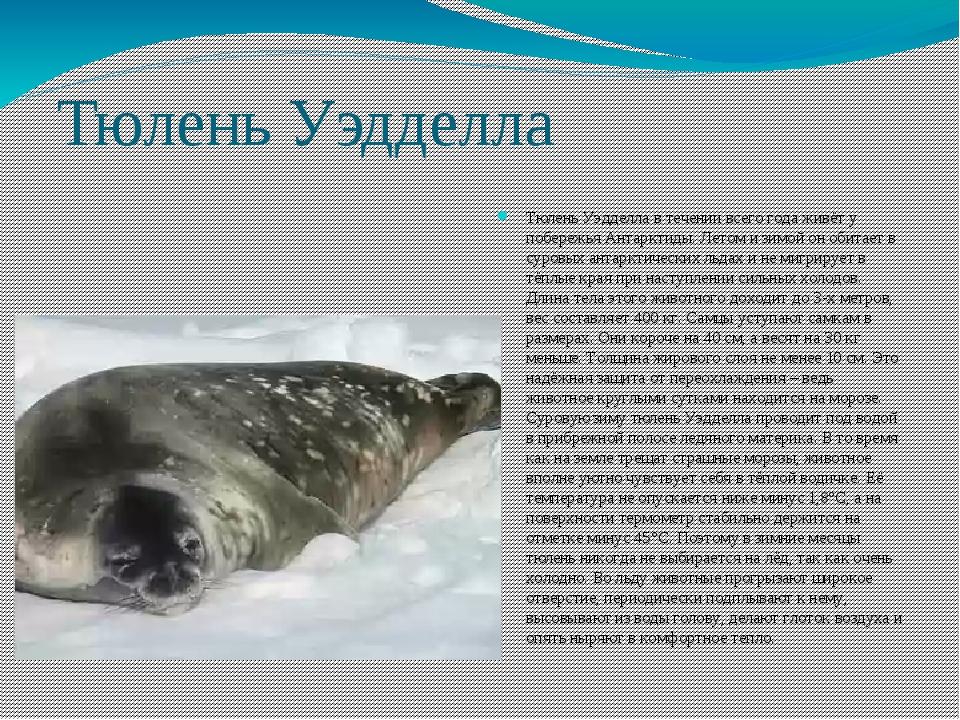 Тюлень Уэдделла Тюлень Уэдделла в течении всего года живёт у побережья Антарк...