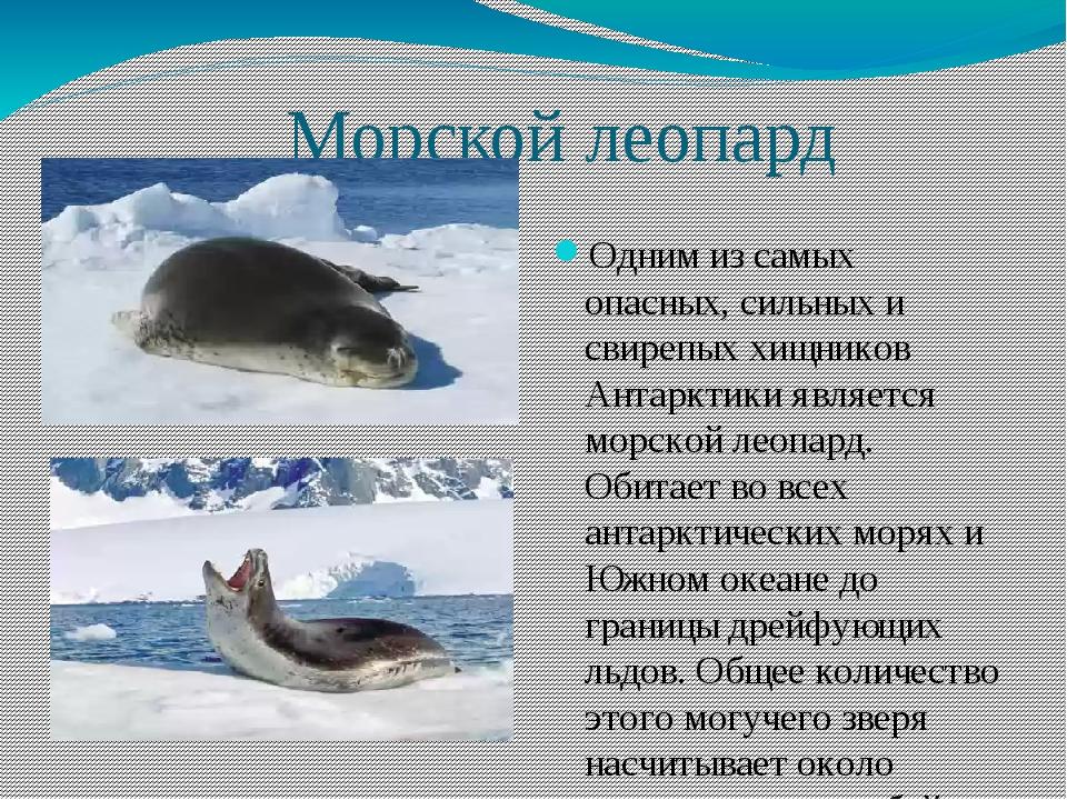 Морской леопард Одним из самых опасных, сильных и свирепых хищников Антаркти...