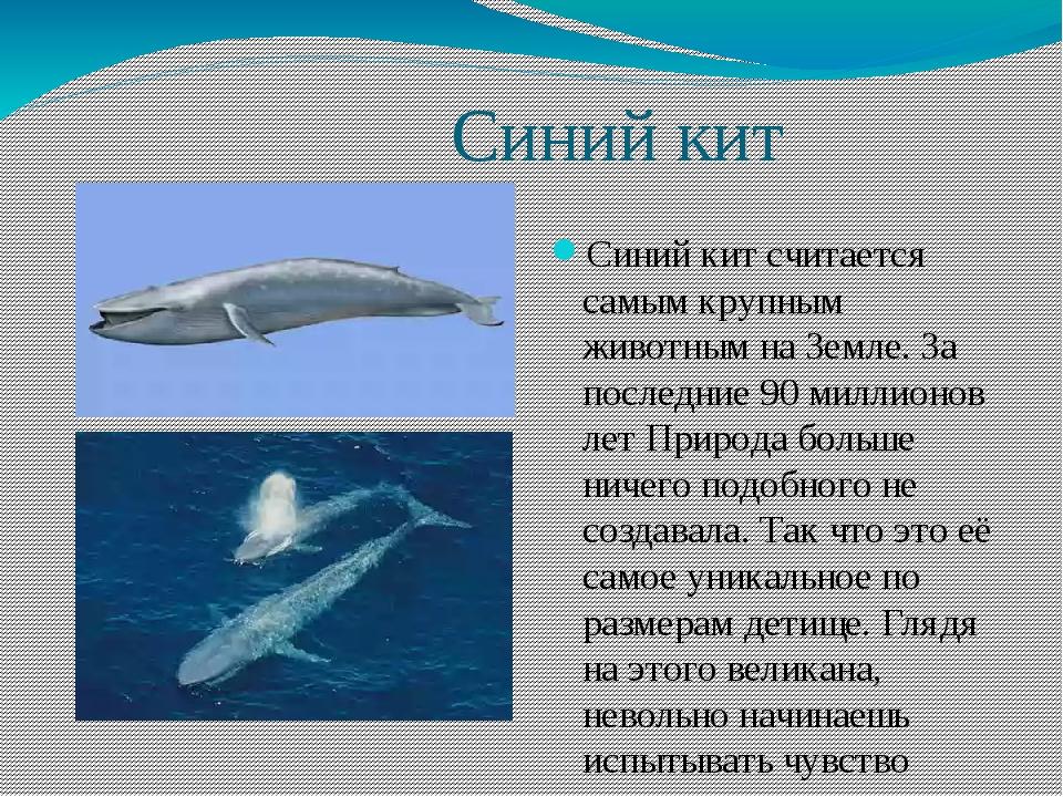 Синий кит Синий кит считается самым крупным животным на Земле. За последние...