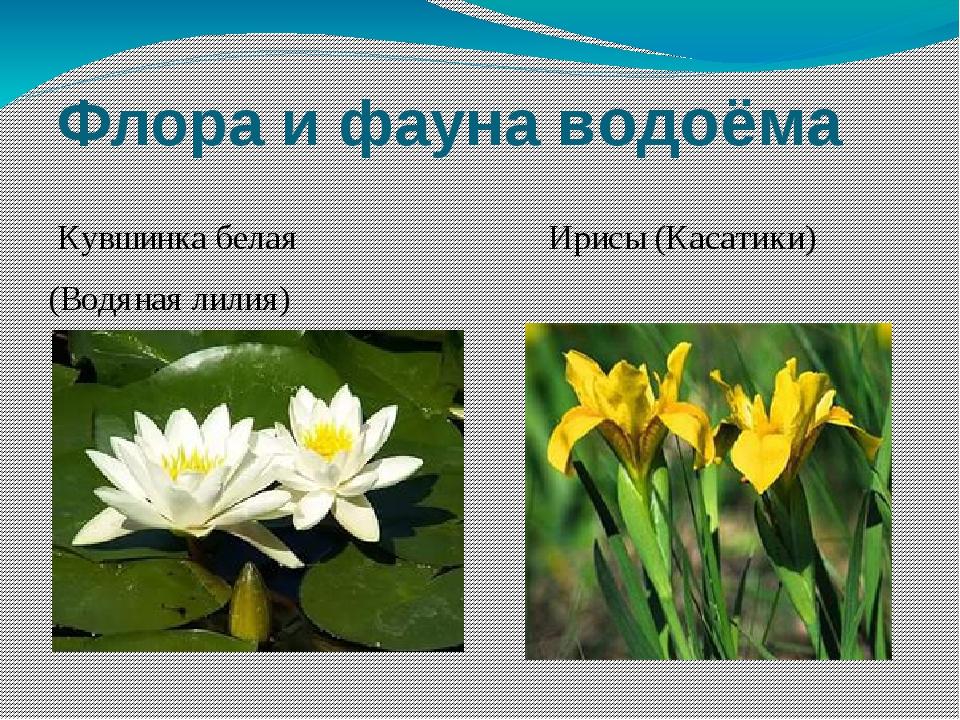 Флора и фауна водоёма Кувшинка белая Ирисы (Касатики) (Водяная лилия)