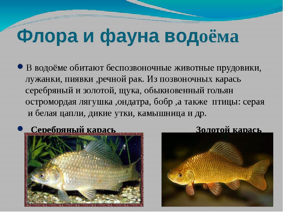 Флора и фауна водоёма В водоёме обитают беспозвоночные животные прудовики, лу...
