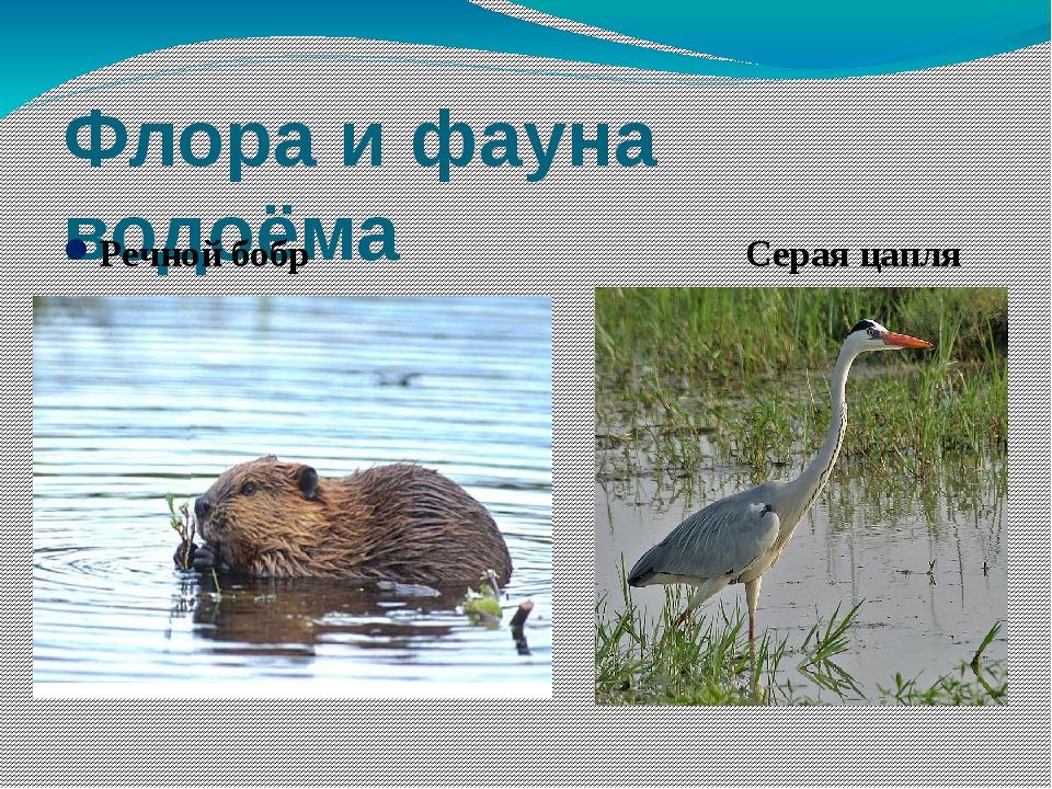 Флора и фауна водоёма Речной бобр Серая цапля