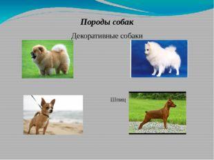 Породы собак Декоративные собаки Чау-чау Шпиц  Чихуа-хуа Карликовы