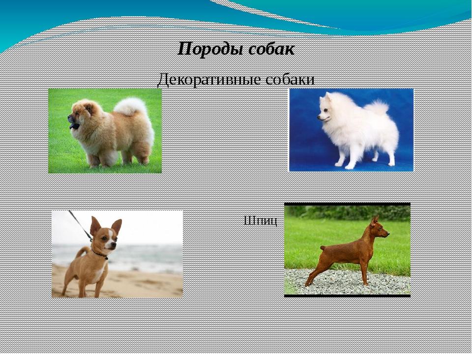 Породы собак Декоративные собаки Чау-чау Шпиц  Чихуа-хуа Карликовы...