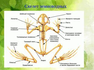 . Скелет земноводных