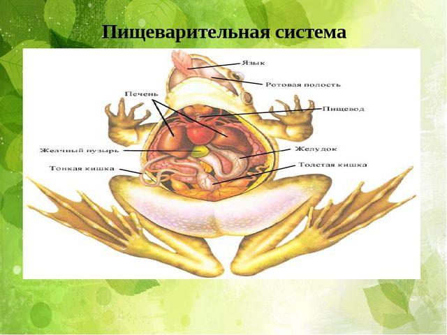 . Пищеварительная система