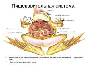 Пищеварительная система Лягушка питается подвижными беспозвоночными, которых
