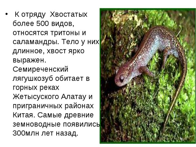 К отряду Хвостатых более 500 видов, относятся тритоны и саламандры. Тело у н...