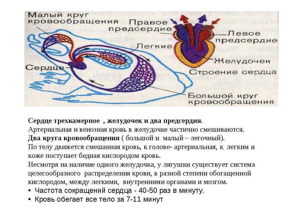 Сердце трехкамерное , желудочек и два предсердия. Артериальная и венозная кро...