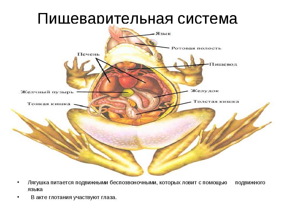 Пищеварительная система Лягушка питается подвижными беспозвоночными, которых...