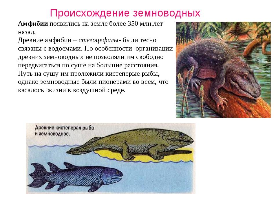 Амфибии появились на земле более 350 млн.лет назад. Древние амфибии – стегоце...