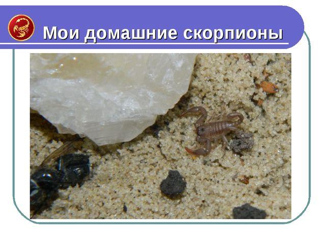 Мои домашние скорпионы