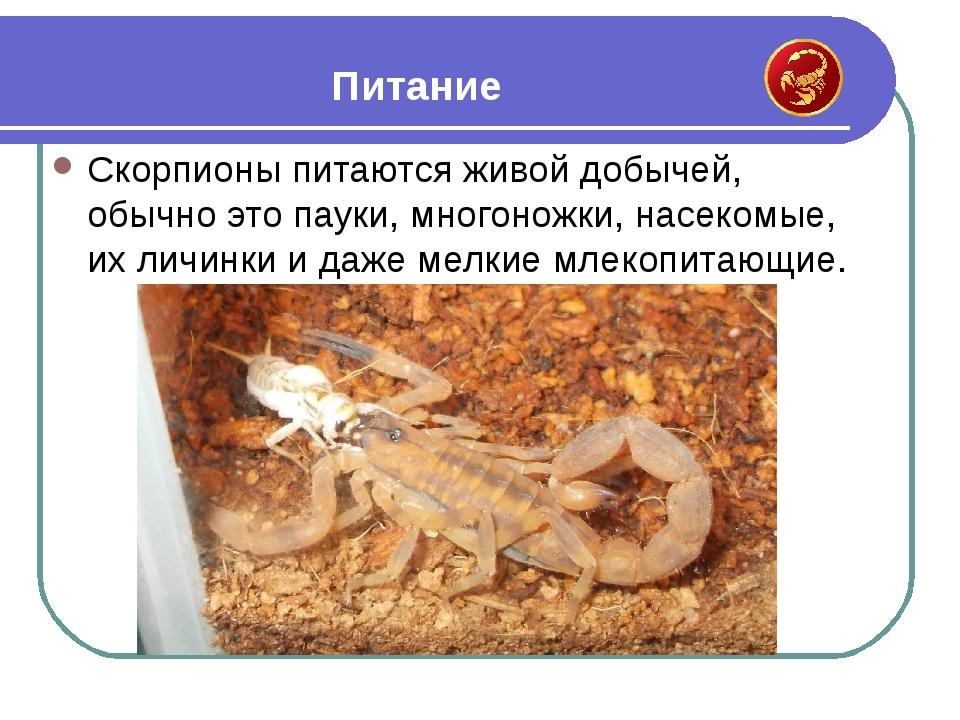 Скорпионы питаются живой добычей, обычно это пауки, многоножки, насекомые, их...