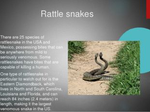 Rattle snakes There are 25 species of rattlesnake in the USA and Mexico, pos