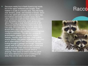 Raccoons Raccoons mainly live in North America but mostly live in the upper
