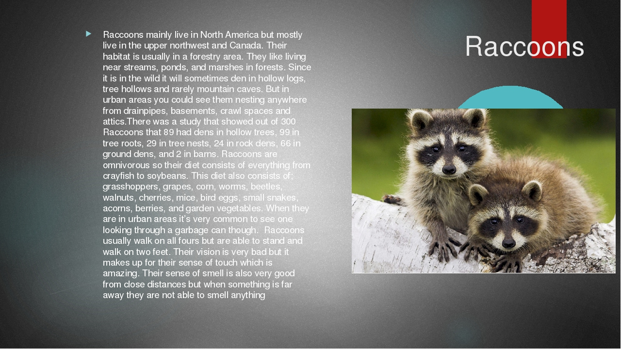 Raccoons Raccoons mainly live in North America but mostly live in the upper...