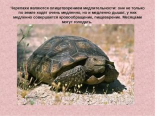 Черепахиявляются олицетворением медлительности: они не только по земле ходят