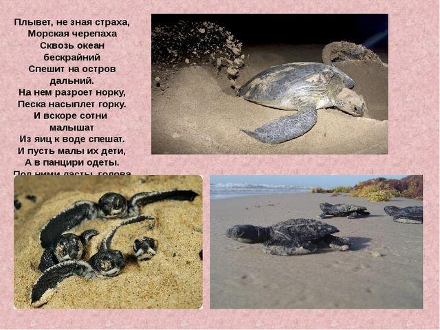Плывет, не зная страха, Морская черепаха Сквозь океан бескрайний Спешит на ос...