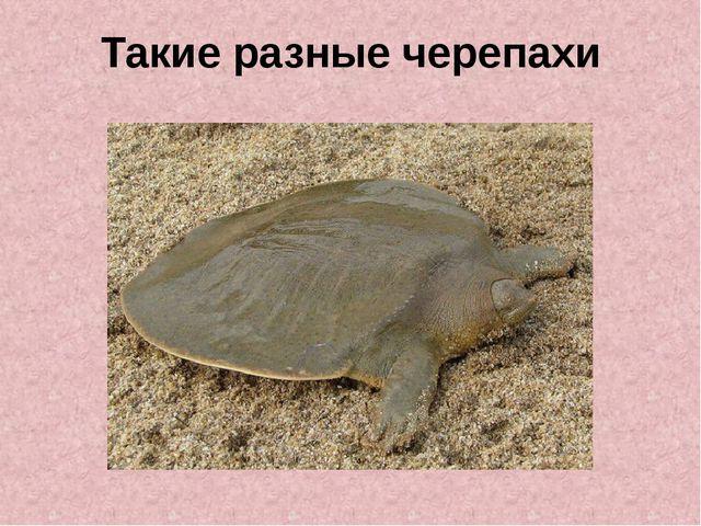 Такие разные черепахи