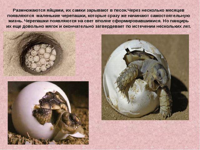 Размножаются яйцами, их самки зарывают в песок.Через несколько месяцев появля...