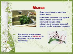 Мытье Один раз в неделю растения нужно мыть Обмывают растения под душем или и
