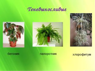 Теневыносливые бегония папоротник хлорофитум