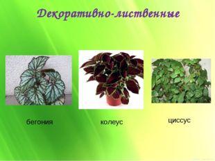 Декоративно-лиственные бегония колеус циссус