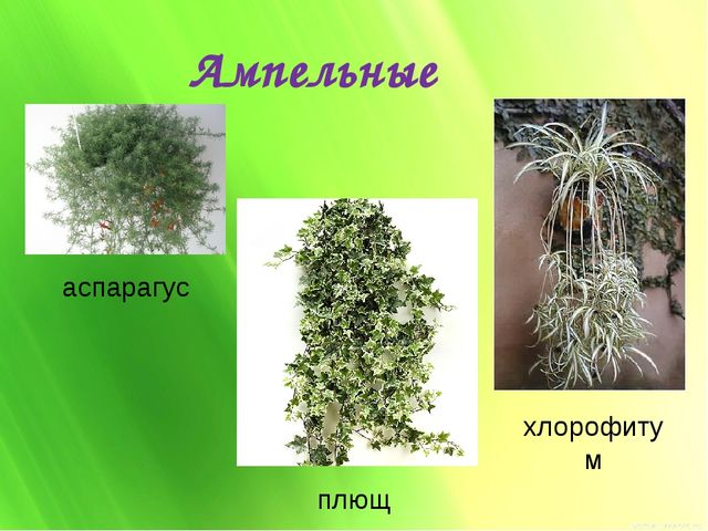 Ампельные аспарагус плющ хлорофитум