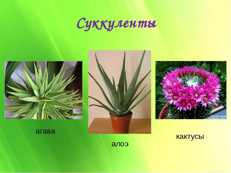 Суккуленты агава алоэ кактусы