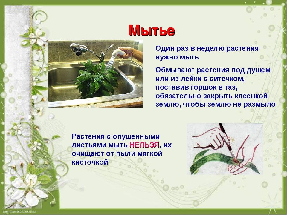 Мытье Один раз в неделю растения нужно мыть Обмывают растения под душем или и...