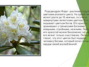 Рододендрон Фори - растение с крупными цветками розового цвета. На одной кис