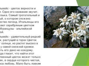 Эдельвейс - цветок верности и любви. Одно его название звучит, как музыка. С