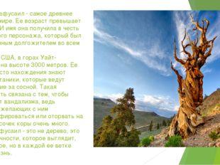 Сосна Мафусаил - самое древнее дерево в мире. Ее возраст превышает 4850 лет.