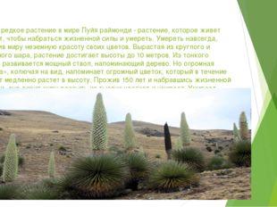 Самое редкое растение в мире Пуйя раймонди - растение, которое живет 150 лет,