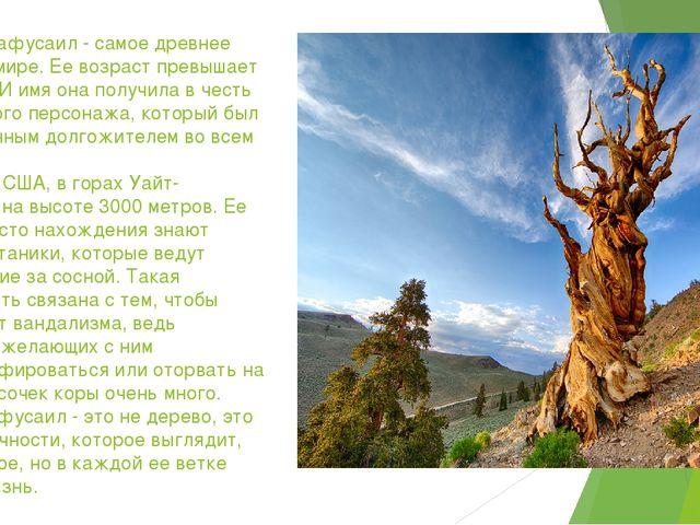 Сосна Мафусаил - самое древнее дерево в мире. Ее возраст превышает 4850 лет....