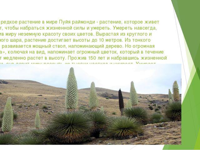 Самое редкое растение в мире Пуйя раймонди - растение, которое живет 150 лет,...