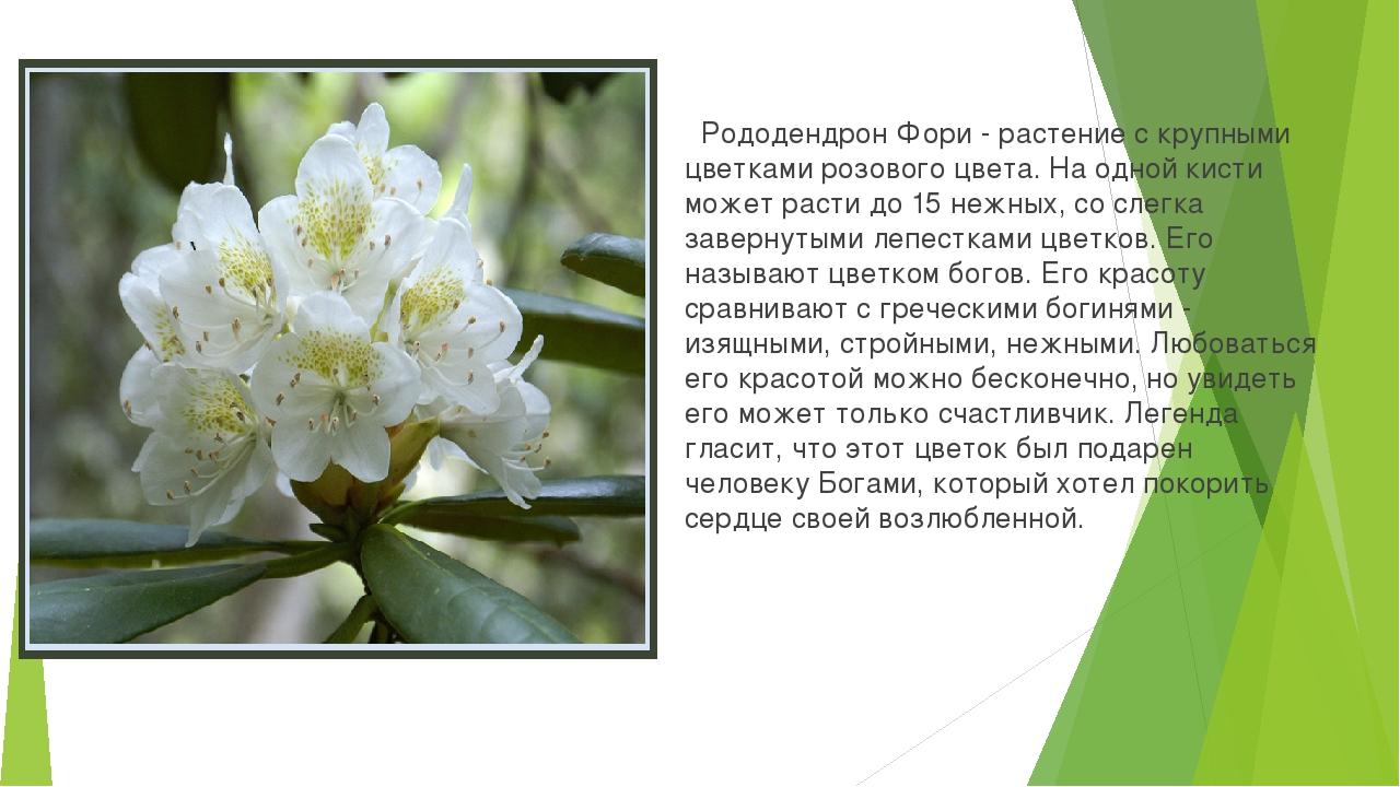 Рододендрон Фори - растение с крупными цветками розового цвета. На одной кис...