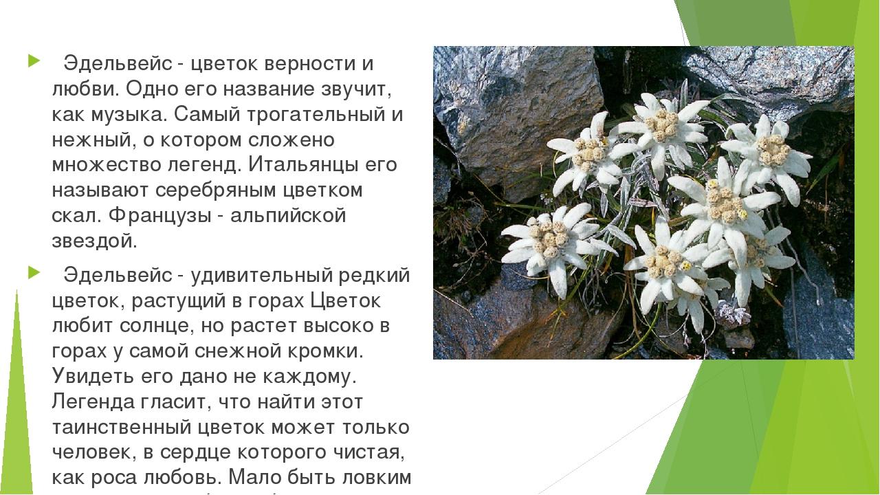 Эдельвейс - цветок верности и любви. Одно его название звучит, как музыка. С...