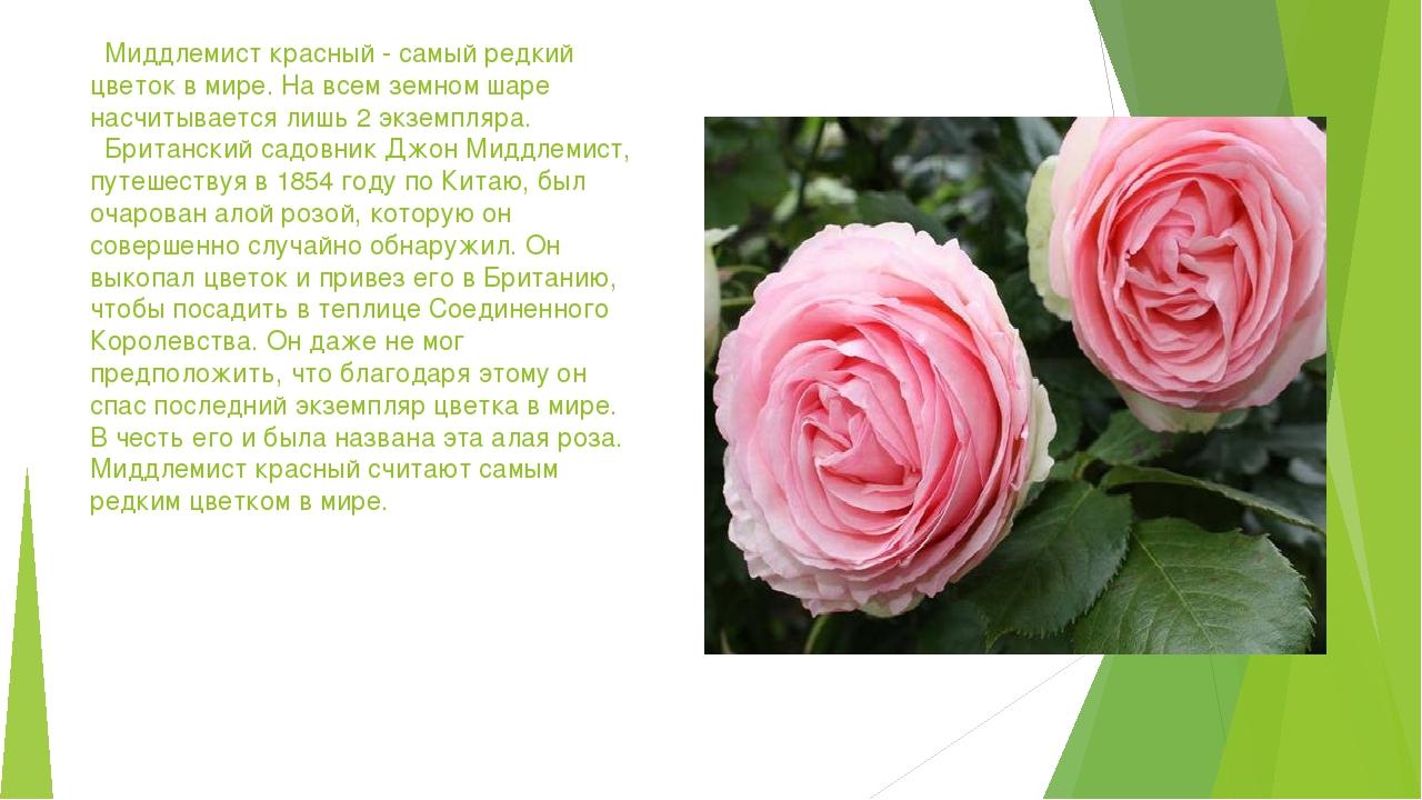 Миддлемист красный - самый редкий цветок в мире. На всем земном шаре насчиты...