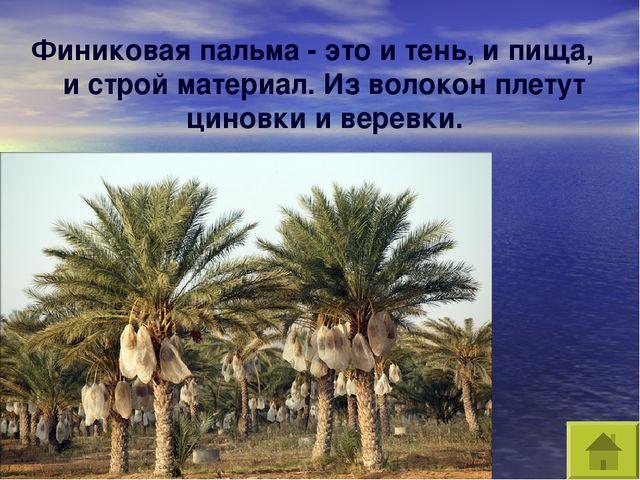 Финиковая пальма - это и тень, и пища, и строй материал. Из волокон плетут ци...
