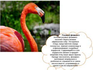 Розовый фламинго Колонии розовых фламинго заселяют берега великих африкански