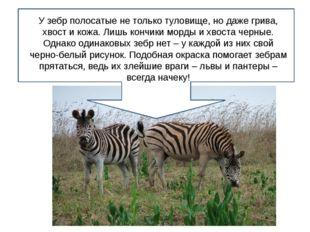 У зебр полосатые не только туловище, но даже грива, хвост и кожа. Лишь кончи