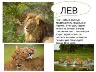 Лев – самый крупный представитель кошачьих в Африке. Этот царь зверей никого