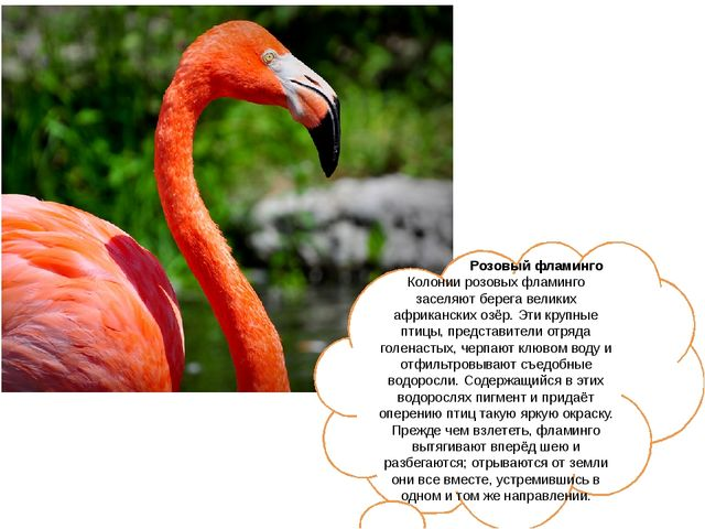 Розовый фламинго Колонии розовых фламинго заселяют берега великих африкански...