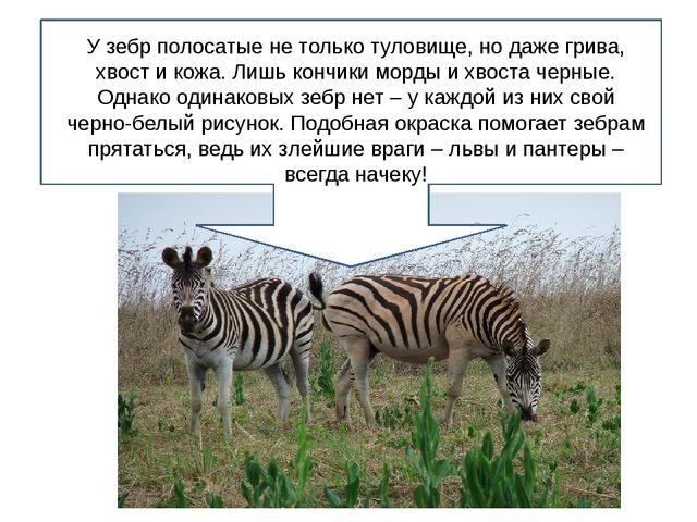 У зебр полосатые не только туловище, но даже грива, хвост и кожа. Лишь кончи...