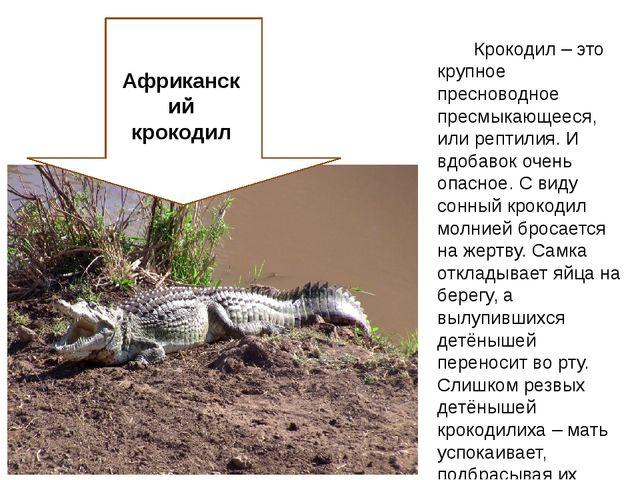 Крокодил – это крупное пресноводное пресмыкающееся, или рептилия. И вдобавок...