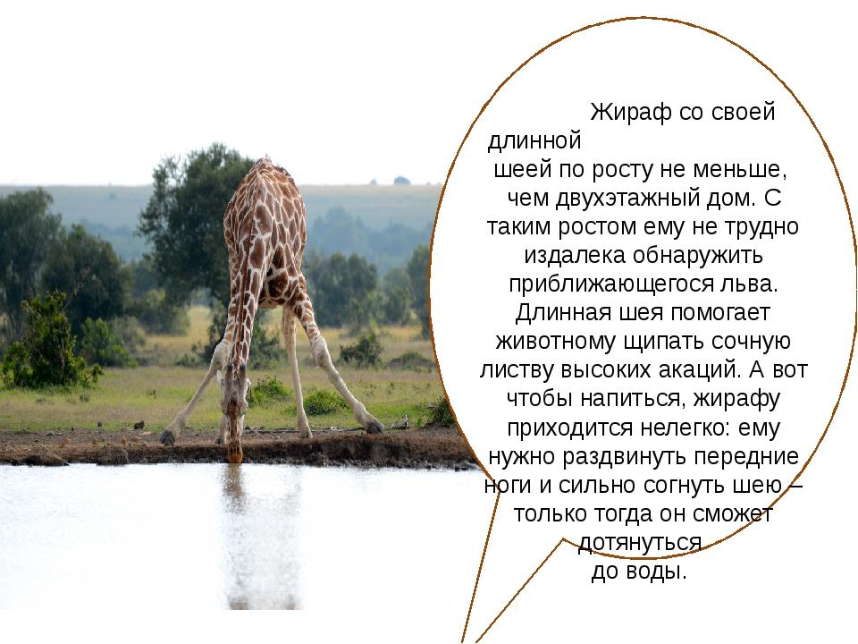 Жираф со своей длинной шеей по росту не меньше, чем двухэтажный дом. С таким...