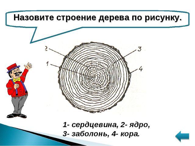 Назовите строение дерева по рисунку. 1- сердцевина, 2- ядро, 3- заболонь, 4-...